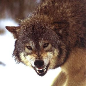wolf-snarling